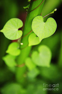 Photograph - Heartshape Leaf by Brandon Tabiolo - Printscapes