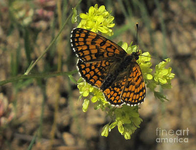 Art Print featuring the photograph Heath Fritillary Butterfly  by Jacqi Elmslie