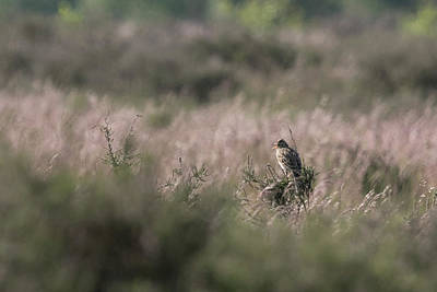 Photograph - Heath Song  Skylark by Wendy Cooper