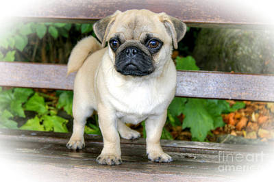 Photograph - Heathcliff The Pug by David Birchall