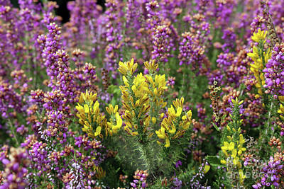 Photograph - Heather And Gorse by Julia Gavin