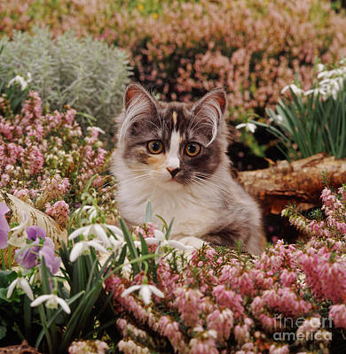 Photograph - Heather Cat by Warren Photographic