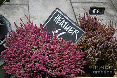 Photograph - Heather by Mary-Lee Sanders