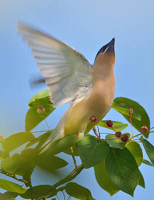 Cedar Waxing Photograph - Heaven by Toshihide Takekoshi