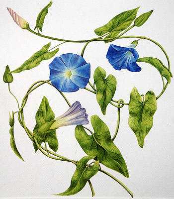 Tendrils Painting - Heavenly Blue Morning Glory by Veronika Logar