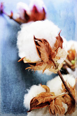 Farm Photograph - Heavenly Cotton Plant On Blue by Jackie Riesland