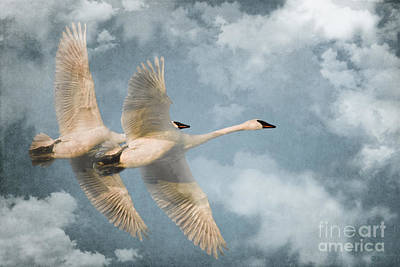 Swan Photograph - Heavenly Flight by Beve Brown-Clark Photography