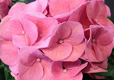 Photograph - Heavenly Hydrangea by Sheila Brown
