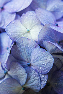 Photograph - Heavenly Hydrangeas by Lynne Guimond Sabean