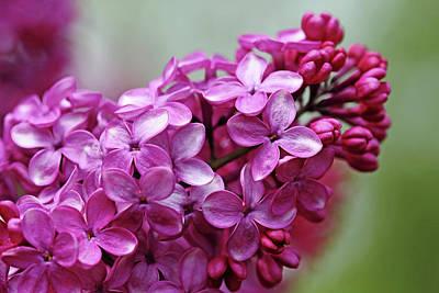 Photograph - Heavenly Lilacs by Debbie Oppermann