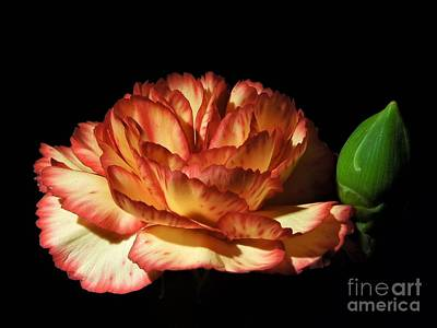 Photograph - Heavenly Outlined Carnation Flower by Chad and Stacey Hall