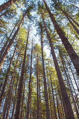 Photograph - Heavenly Pines by Tikvah's Hope