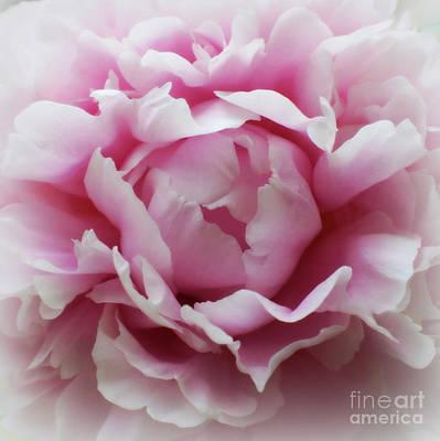 Photograph - Heavenly Pink Peony by Carol Groenen