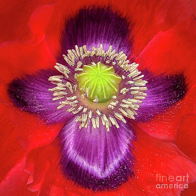 Photograph - Heavenly Poppy by Jennie Breeze