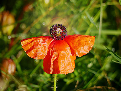 Photograph - Heavenly Poppy by Richard Reeve