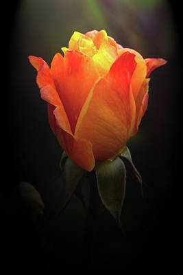 Photograph - Heavenly Rose by Tikvah's Hope