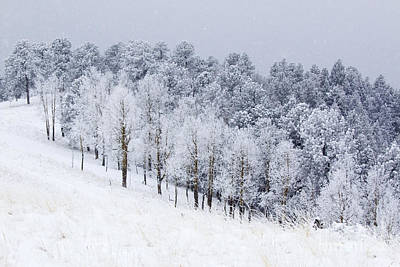 Steve Krull Royalty-Free and Rights-Managed Images - Heavy Snow in the Pike National Forest by Steve Krull