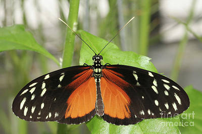 Photograph -  Hecale Longwing Butterfly by Judy Whitton