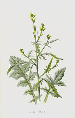 Weed Drawing - Hedge Mustard by Frederick Edward Hulme