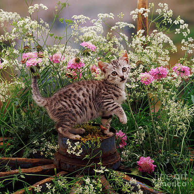 Photograph - Hedge Parsley Puss by Warren Photographic