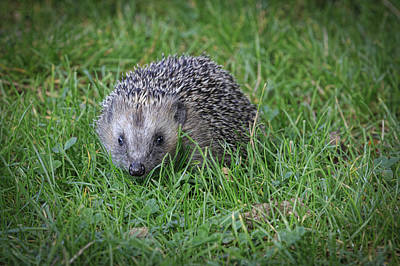 Farmhouse Rights Managed Images - Hedgehog - 2 Royalty-Free Image by Chris Smith