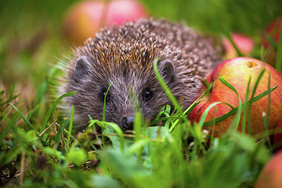 Photograph - Hedgehog And Aplles In Nature View by Brch Photography