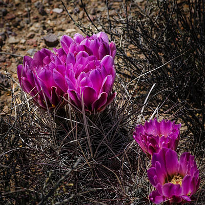 Photograph - Hedgehog Cactus Flower by Phil Cardamone
