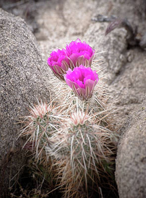 Photograph - Hedgehog Cactus Flowers by Alexander Kunz