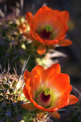 Photograph - Hedgehog Flowers In Dawn's Early Light  by Saija Lehtonen