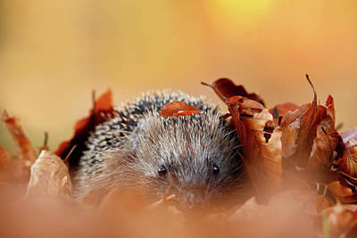 Hedgehog Hiding Art Print by Roeselien Raimond