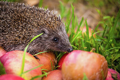 Photograph - Hedgehog On Aplles In Nature View by Brch Photography