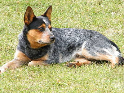 Photograph - Heeler by Ann E Robson