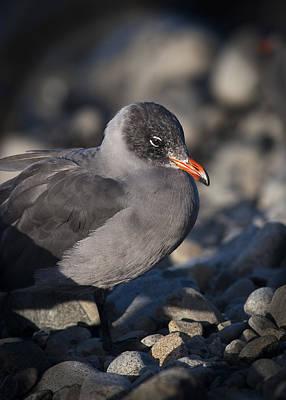 Photograph - Heermann's Gull by Robert Potts
