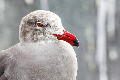 Photograph - Heerman's Gull by Randy Bayne
