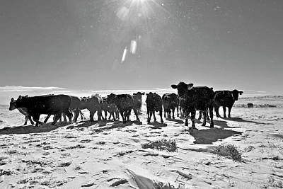 Photograph - Heifers In The Snow by Amanda Smith
