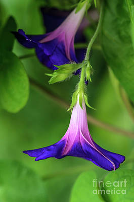 Photograph - Heirloom Purple Morning Glories by Tamara Becker