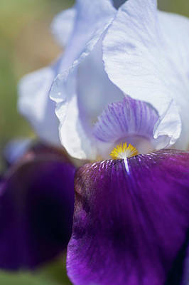 Photograph - Helen Collingwood Closeup. The Beauty Of Irises by Jenny Rainbow