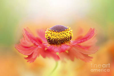 Sneezeweed Photograph - Helenium Flower by Jacky Parker