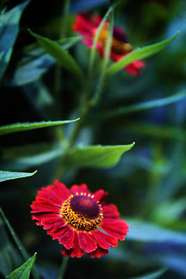 Red Leaf Digital Art - Helenium In Bloom by Jessica Jenney
