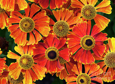 Photograph - Helenium Waltraut Pattern by Tim Gainey