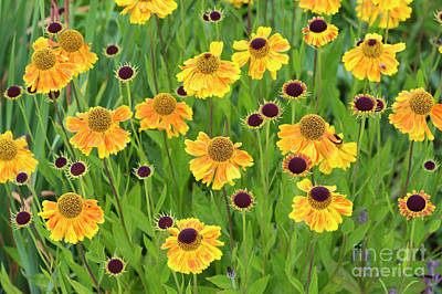 Photograph - Helenium Wyndley Flowers by Tim Gainey