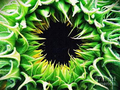 Sunflowers Royalty-Free and Rights-Managed Images - Helianthus                           by Sarah Loft