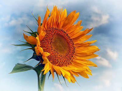 Photograph - Helianthus Annuus Greeting The Sun by Bill Swartwout Fine Art Photography