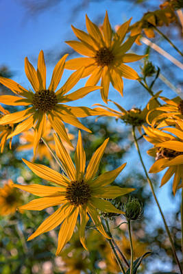 Sunflowers Royalty-Free and Rights-Managed Images - Helianthus Giganteus by Rick Berk