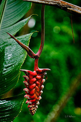 Photograph - Heliconia by Christopher Holmes