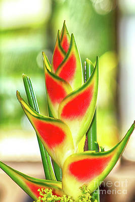Photograph - Heliconia Flower by Teresa Zieba