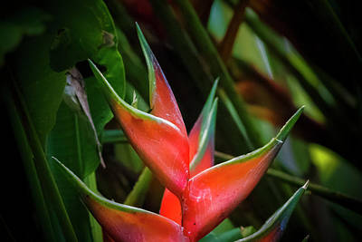 Photograph - Heliconia Wagneriana Panaca Colombia by Adam Rainoff