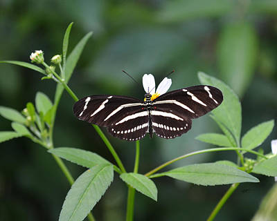 Photograph - Heliconius Charithonia - Zebra Longwing Butterfly by rd Erickson