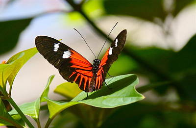 Photograph - Heliconius Doris Butterfly by Denise Mazzocco
