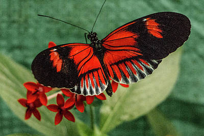 Photograph - Heliconius Erato, Red Postman Butterfly by Venetia Featherstone-Witty